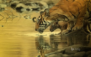 baby animals, water, animals, big cats, tiger