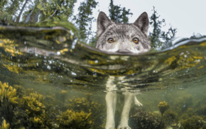 nature, forest, lake, water, wolf