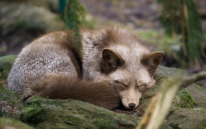 sleeping, fox, animals