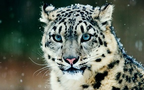 snow, leopard animal, snow leopards, animals
