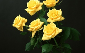 yellow flowers, yellow roses