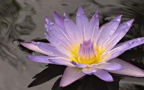 water lilies, macro, water