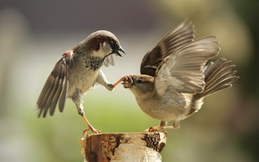 sparrow, blurred, humor, fighting, macro, photography
