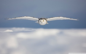 snowy owl, white, owl, macro, photography, blurred