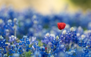 flowers, red flowers, blue, bluebonnets, plants, blue flowers