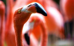 animals, flamingos, red, birds