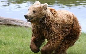 animals, bears, nature